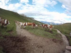 Kuh in den Alpen