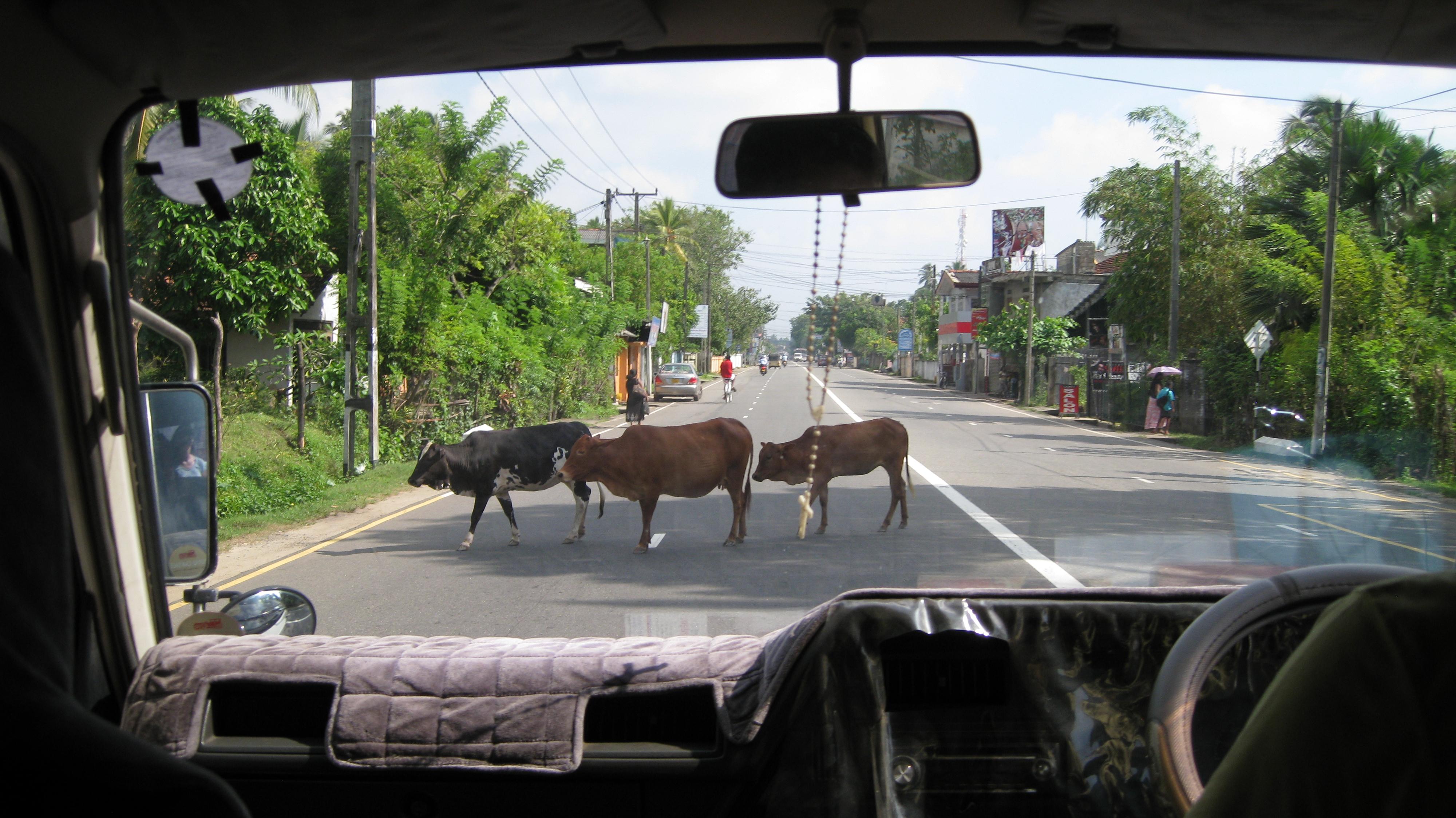 Kühe im Straßenverkehr